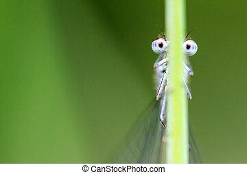 Googly damselfly - Funny macro image of a damselfly looking...