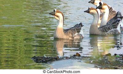 Goose Animal in Lake