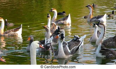Goose Bird Animal on Green Lake