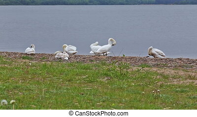 goose geese bird riverbank river water rural stack waterfowl