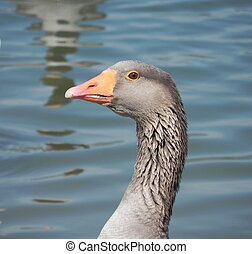 Goose - Close-up of a goose on a lake