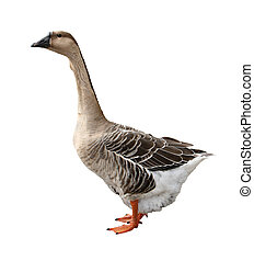 Goose - Domestic goose isolated on a white background