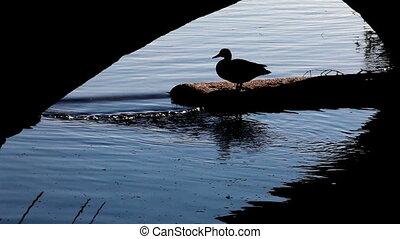 goose - Duck hiding under a bridge