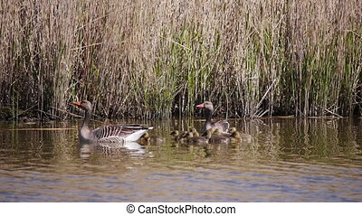 Goose family with young goslings