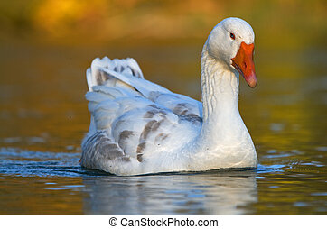 Goose floating on water