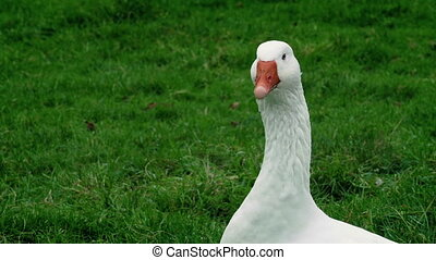 Goose In The Field - Closeup of a goose in grassy field