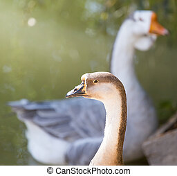 goose in the park outdoors