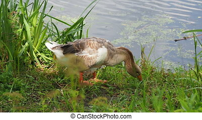 Goose is searching for food in green grass. Poultry grazing ...
