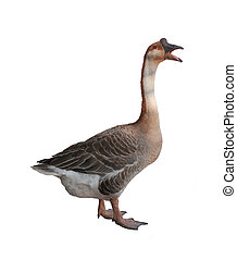Goose isolated on white background