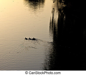 goose on pond in nature at sunset
