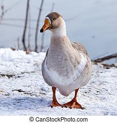 goose on snow in winter