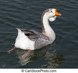 Goose on the lake