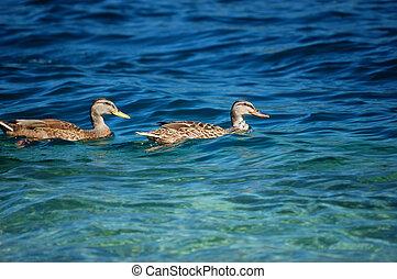 goose pair. Orta lake, Italy