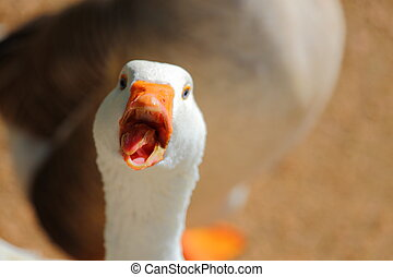 Goose - A close up view of a goose looking at the camera...