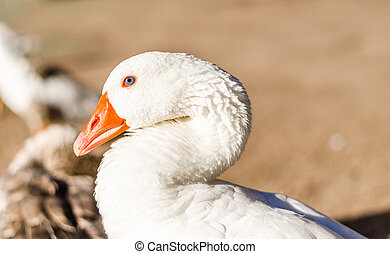 Goose with an orange beak looking at the camera - Goose with...