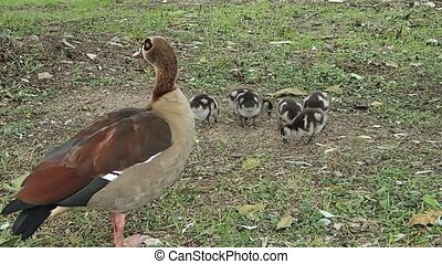Goose with goslings - A Nile goose with little goslings