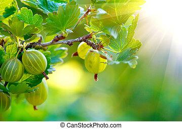 Gooseberries. Fresh and ripe organic gooseberriy growing in the garden