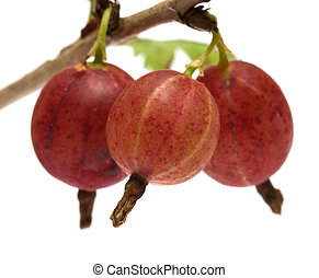 Gooseberries. - Gooseberries on a branch close-up isolated...