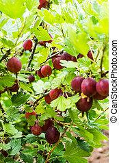 Gooseberries in the garden