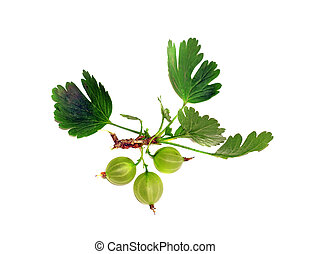 Gooseberries on a branch isolated