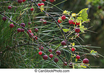 Gooseberry branches with ripe berries.