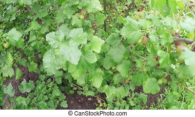Gooseberry bush - In garden grow gooseberry bushes