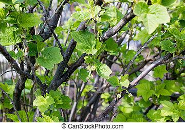 gooseberry, folhas, verde