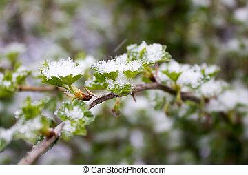 gooseberry, folhas, verde, neve, sob
