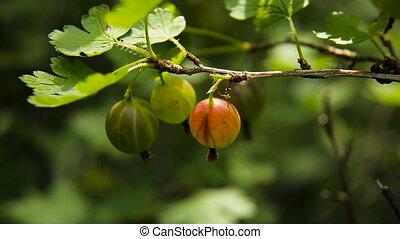 Gooseberry fruit on the branch in the garden.