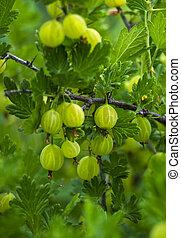 Gooseberry in the fruit garden.