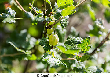 gooseberry in the garden