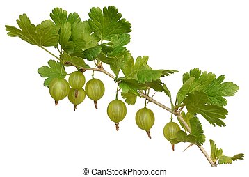 Isolated green gooseberry