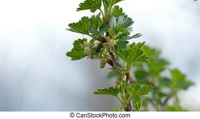 gooseberry leaf buds bud branch bush landscape nature -...