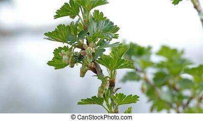 gooseberry leaf buds bud branch landscape bush nature -...