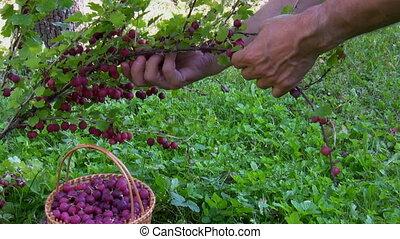 Gooseberry picking - Ripe gooseberry picking in the garden