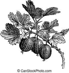 Gooseberry (Ribes grossularia) vintage engraving. Old...