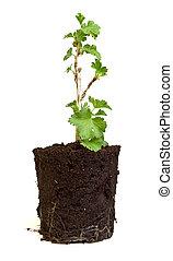 gooseberry, seedling