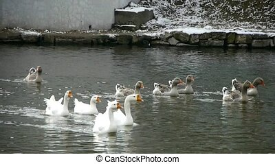 Goose,Ducks geese and swans swimming on water,lake.