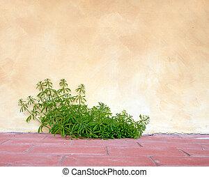 Goosegrass and wall, rustic background. Galium aparine.