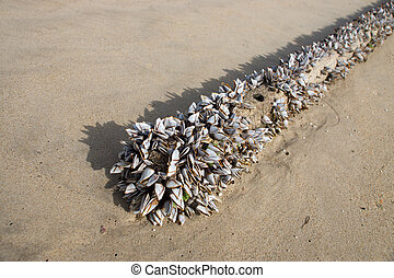Gooseneck barnacles on the beach.