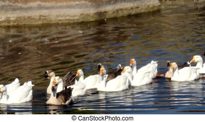 gooses at pond