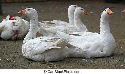 Gooses in farmyard looking at camera