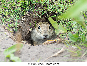 Gopher in the hole