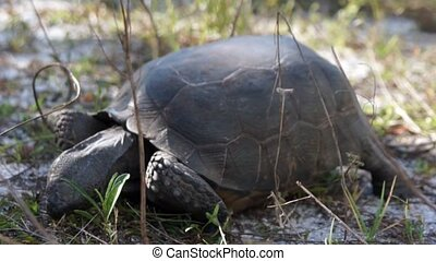 Ground level, close up footage of Gopher Tortoise feeding At Wiggins Pass state park in Bonita Springs/ Naples Florida. The Gopher Tortoise is an endangered and protected species of turtle in Florida.