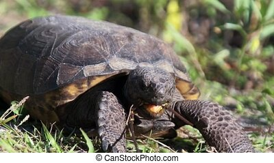 Gopher Tortoise Eating Close Up