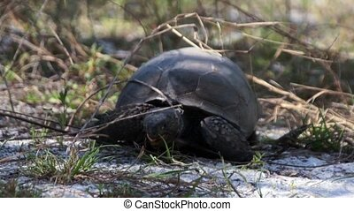 Gopher Tortoise Feeding In Florida