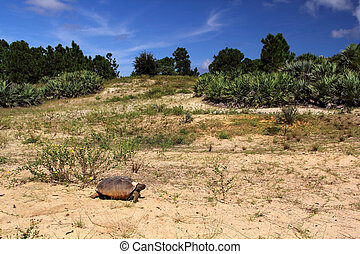 Gopher Tortoise, High Ridge Scrub Natural Area, Florida