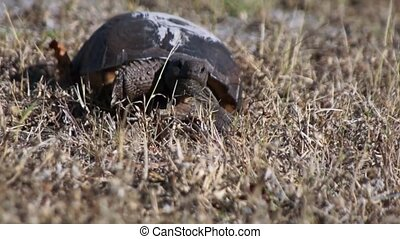 Gopher Tortoise walking - A young Gopher Tortoise is walking...