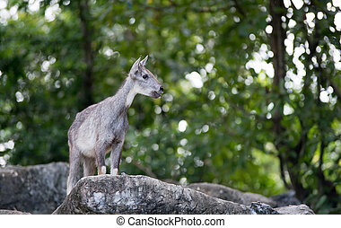 goral standing on the rock