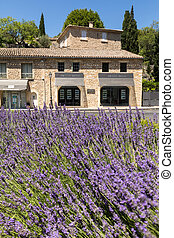 The flourishing lavender in Gordes. Provence, France